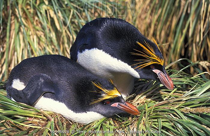 Rockhopper penguins nesting (Eudyptes chrysocome, crestatus)  -  Terry Andrewartha/ npl