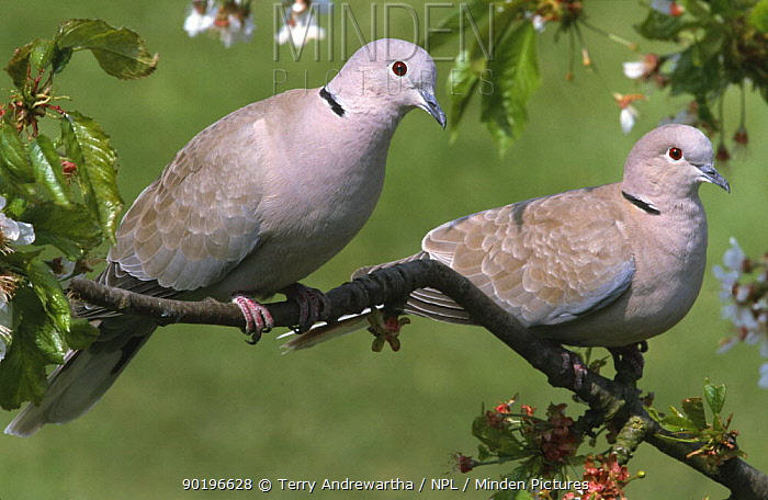 Two Collared doves (Streptopelia decaocto) on tree in blossom, UK  -  Terry Andrewartha/ npl