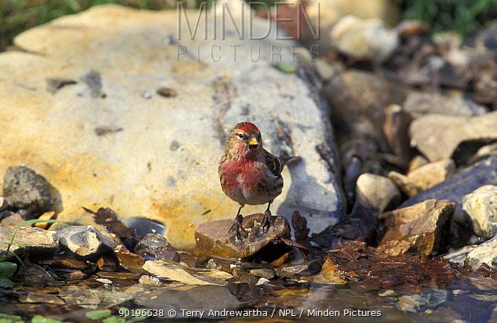 Redpoll at water (Carduelis flammea) UK  -  Terry Andrewartha/ npl