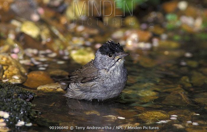 Blackcap male bathing (Sylvia atricapilla) UK  -  Terry Andrewartha/ npl