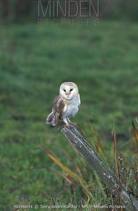 Barn owl perched on post (Tyto alba) UK  -  Terry Andrewartha/ npl