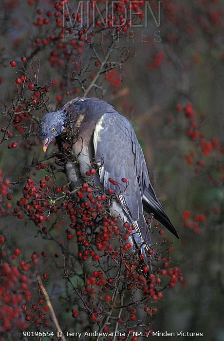 Wood pigeon feeding on berries (Columba palumbus) Norfolk, UK  -  Terry Andrewartha/ npl