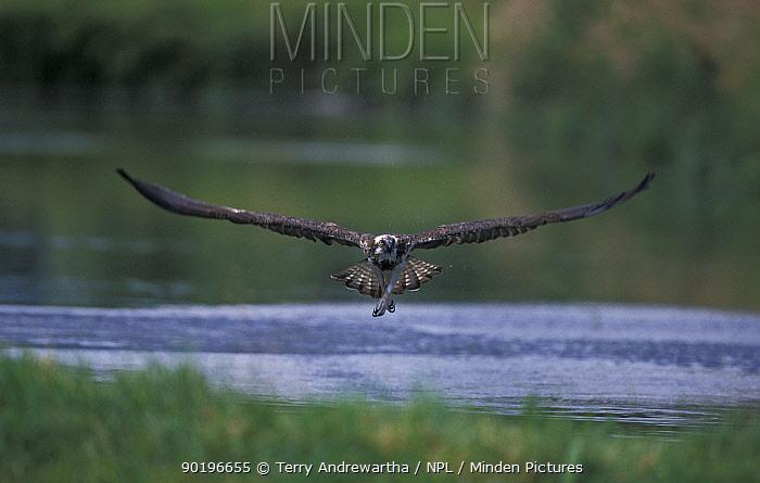 Osprey fishing (Pandion haliaetus) UK  -  Terry Andrewartha/ npl