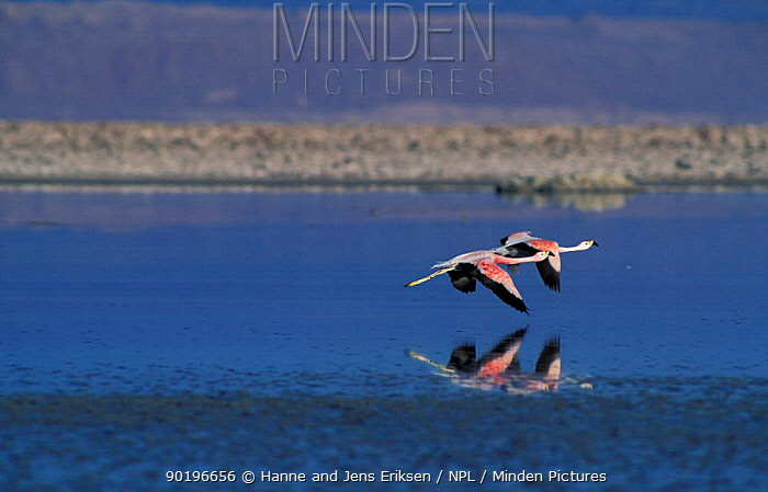 Two Andean Flamingoes flying (Phoenicoparrus andinus) Salar de Atacama, Chile  -  Hanne & Jens Eriksen/ npl