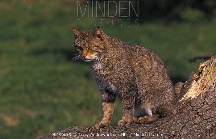 Wild cat (Felis silvestris) captive, UK  -  Terry Andrewartha/ npl