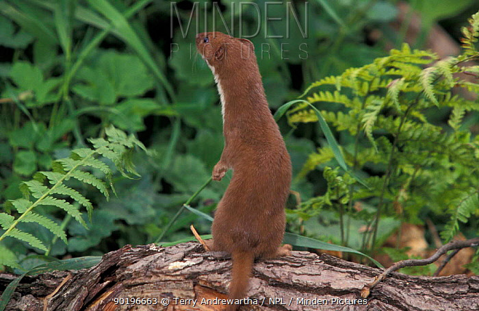 Weasel standing and sniffing the air (Mustela nivalis) Captive UK  -  Terry Andrewartha/ npl