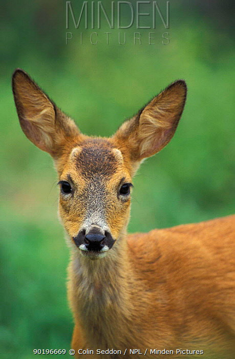 Roe deer juvenile male (Capreolus capreolus) Somerset UK  -  Colin Seddon/ npl