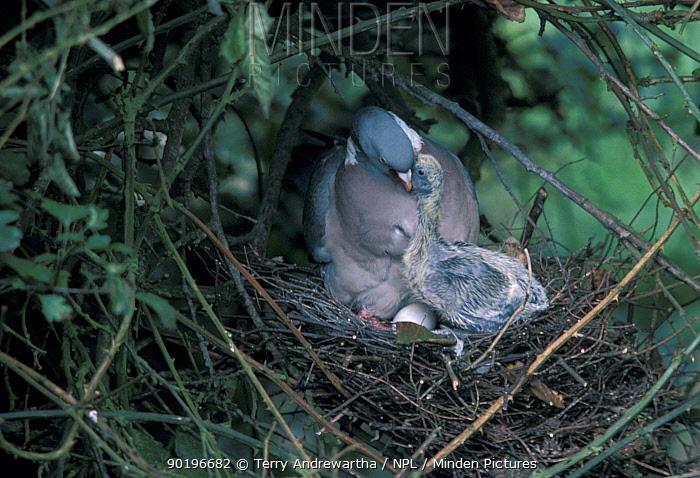 Wood pigeon feeds chick on nest (Columba palumbus) UK  -  Terry Andrewartha/ npl