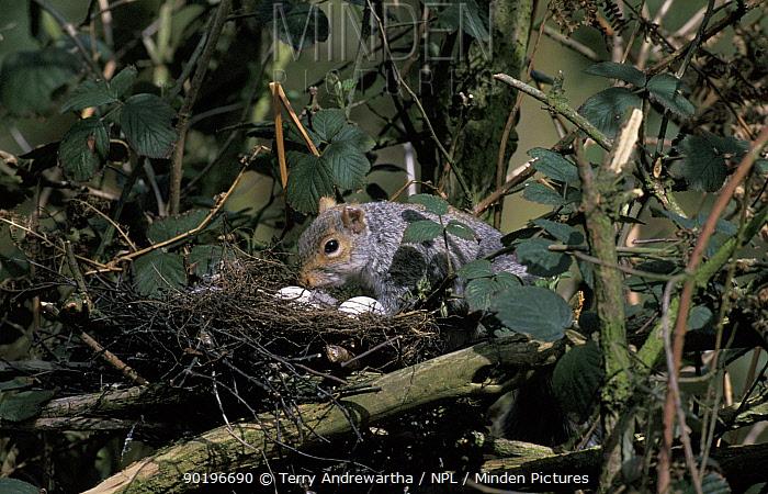 Grey squirrel stealing eggs from bird nest (Scuirus carolinensis) UK  -  Terry Andrewartha/ npl