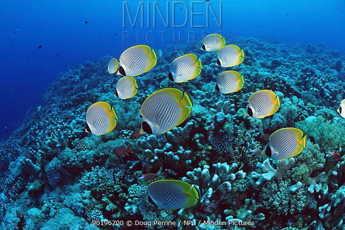 Shoal of Panda butterflyfish (Chaetodon adiergastos) Layang Layang Atoll, Malaysia  -  Doug Perrine/ npl