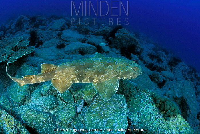 Wobbegong, Carpet shark (Orectolobus maculatus) Queensland Australia  -  Doug Perrine/ npl