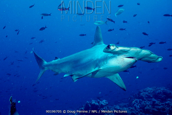 Scalloped hammerhead shark portrait (Sphyrna lewini) Galapagos Islands, Pacific Ocean  -  Doug Perrine/ npl