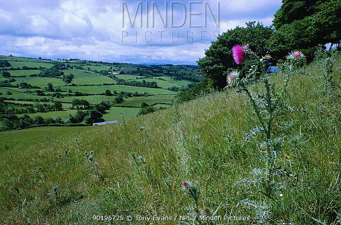 Musk thistle flowering in field (Carduus nutans) Powys, Wales, UK  -  Tony Evans/ npl