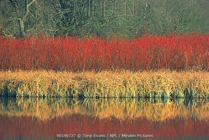 Dogwood growing beside lake (Cornus sanguinea) Hertfordshire, UK  -  Tony Evans/ npl