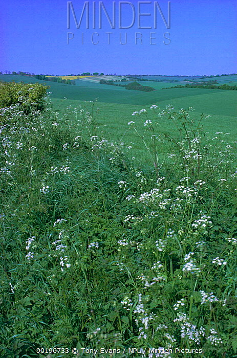 Open downland with cow parsley (Anthriscus sylvestris) flowering on verge Wiltshire, UK  -  Tony Evans/ npl
