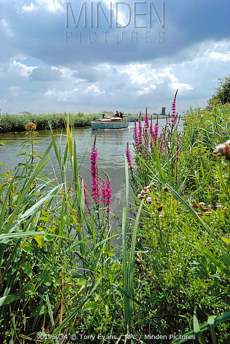 Purple loosestrife (Lythrum salicaria) beside water, Norfolk Broads, England  -  Tony Evans/ npl