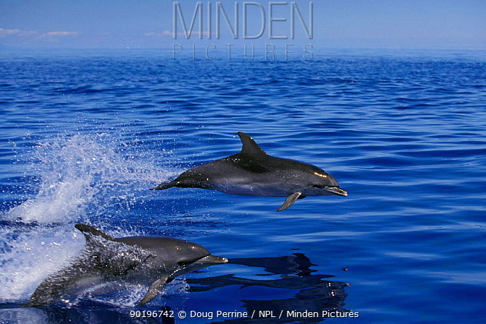 Atlantic spotted dolphins jumping (Stenella frontalis) Azores, Portugal, North Atlantic  -  Doug Perrine/ npl