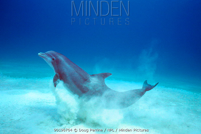 Atlantic Bottlenose dolphin emerges from sand after crater feeding (Tursiops truncatus)  -  Doug Perrine/ npl