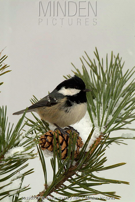 Coal tit (Parus ater) on conifer in snow, UK  -  Dave Watts/ npl