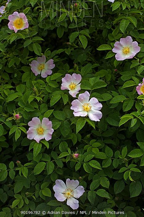 Dog rose (Rosa canina) UK  -  Adrian Davies/ npl