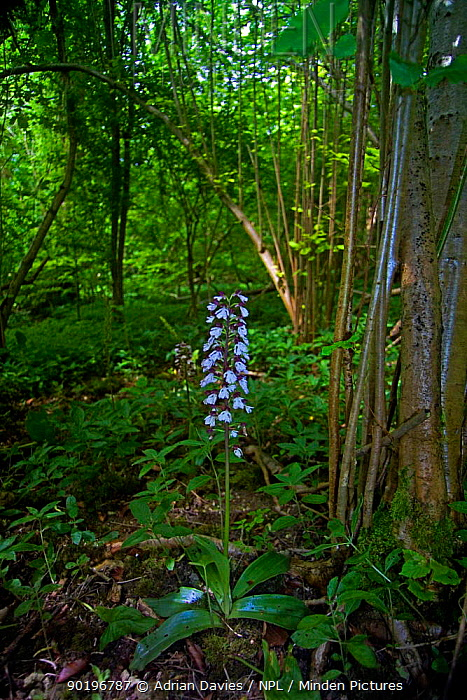 Lady orchid (Orchis purpurea) in woodland, Yockletts Bank, Kent, UK  -  Adrian Davies/ npl