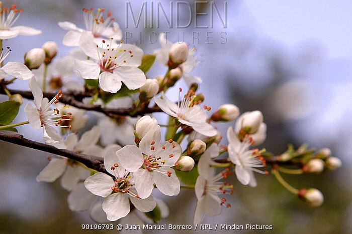 Plum tree blossom (Prunus domestica) Spain  -  Juan Manuel Borrero/ npl