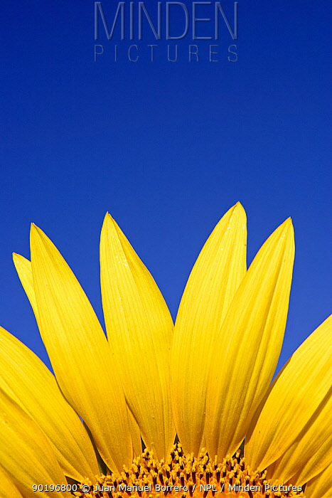 Sunflower (Helianthus annuus) Spain  -  Juan Manuel Borrero/ npl