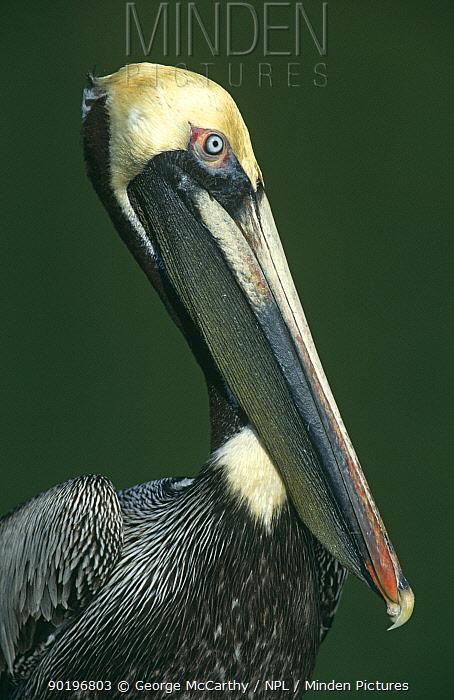 Brown Pelican (Pelecanus occidentalis) Everglades NP, Florida, USA  -  George Mccarthy/ npl