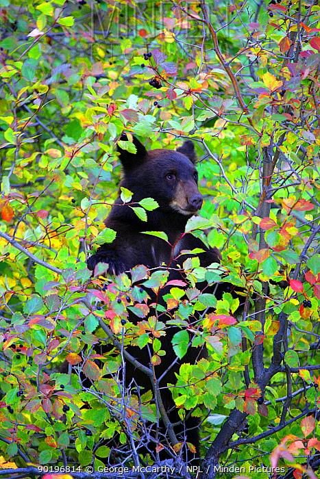 Black Bear (Ursus americanus) cub in tree feeding on berries, Wyoming, USA  -  George Mccarthy/ npl