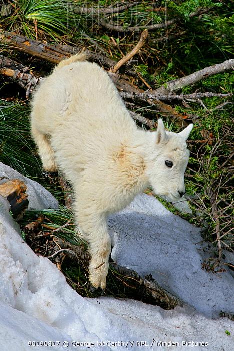 Juvenile Mountain Goat (Oreamnos americanus) Glacier National Park, Alberta, Canada  -  George Mccarthy/ npl