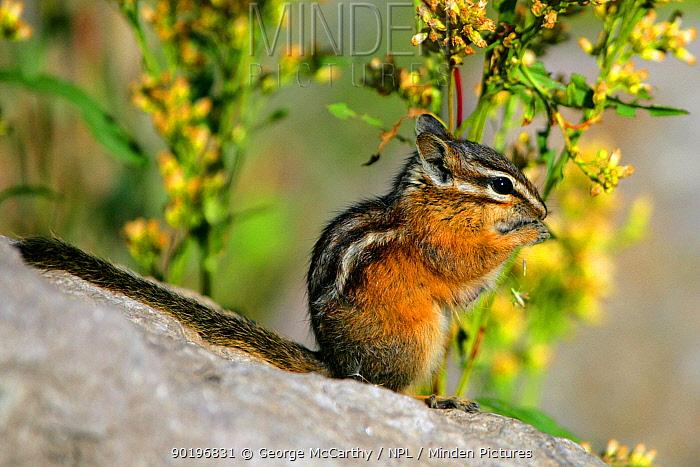 Least chipmunk (Eutamias minimus) feeding on flower seeds, Yellowstone NP, Montana, USA  -  George Mccarthy/ npl
