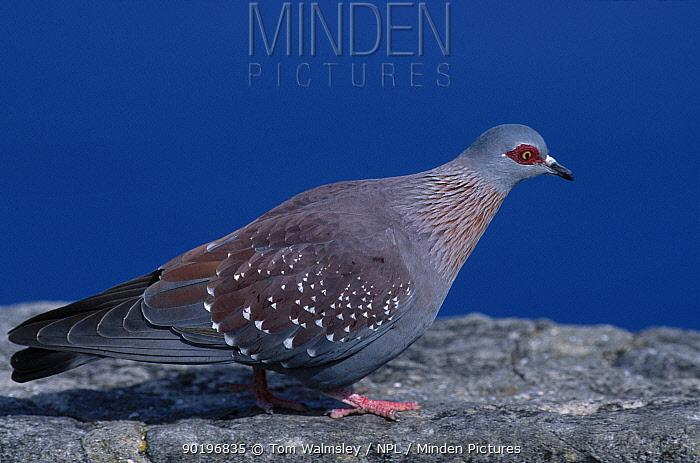 Rock dove Table Mountain (Columba livia) South Africa  -  Tom Walmsley/ npl