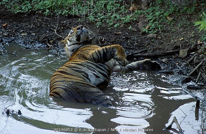 Bengal tiger wallowing in muddy water (Panthera tigris tigris) Bandhavgarh NP MP India  -  E.A. Kuttapan/ npl