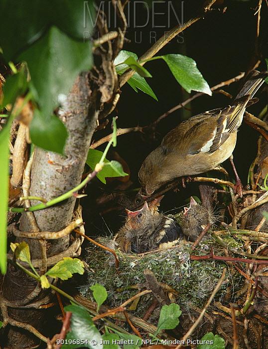 Female Chaffinch feeding young at nest (Fringilla coelebs) England UK  -  Jim Hallett/ npl