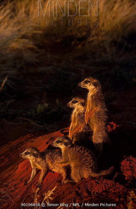 Meerkat family warming up by burrow (Suricata suricatta) Tswalu Kalahari Reserve S Africa  -  Simon King/ npl