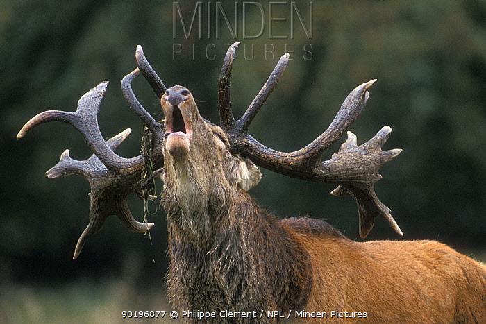 Red deer stag calling during rut (Cervus elaphus) Denmark  -  Philippe Clement/ npl