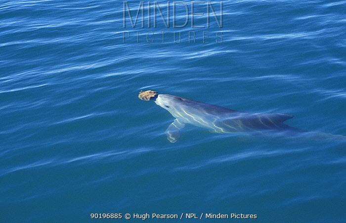 Bottlenose dolphin (Tursiops truncatus) with sponge (? to protect nose) Shark bay  -  Hugh Pearson/ npl