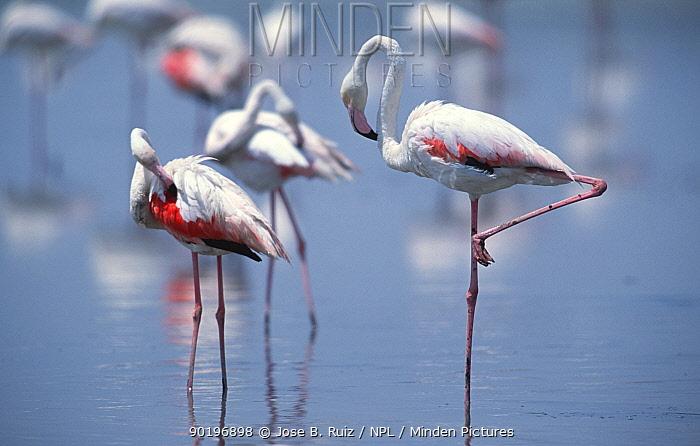 Greater flamingoes preening (Phoenicopterus ruber) Laguna de Fuentepiedra NP, southern Spain  -  Jose B. Ruiz/ npl