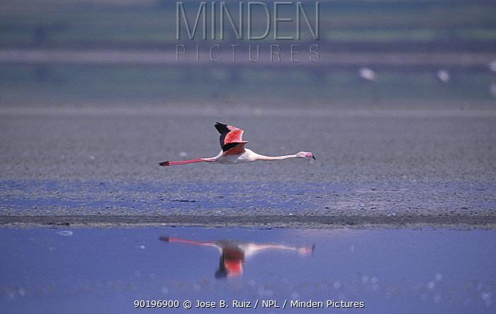 Greater flamingo flying (Phoenicopterus ruber) Laguna de Fuentepiedra NP, southern Spain  -  Jose B. Ruiz/ npl