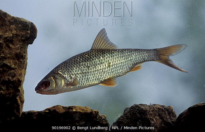 Roach (Rutilus rutilus) Lake Vanem, Sweden  -  Bengt Lundberg/ npl