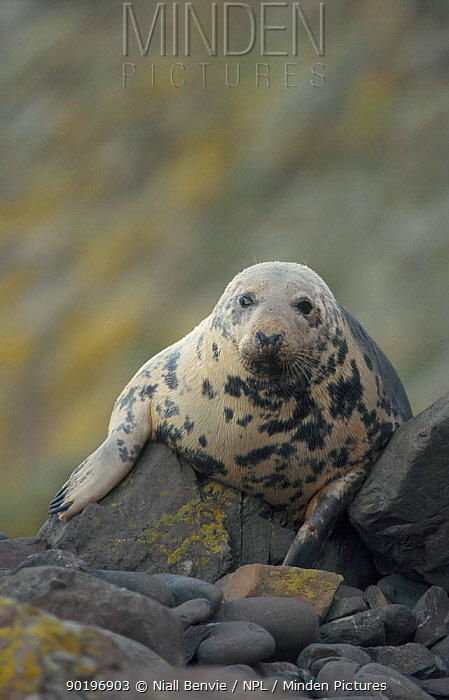 Grey seal hauled out on rock (Halichoerus grypus) Lincolnshire UK  -  Niall Benvie/ npl