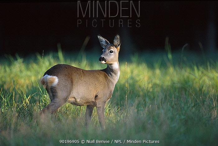 Roe deer female (Capreolus capreolus) Latvia  -  Niall Benvie/ npl