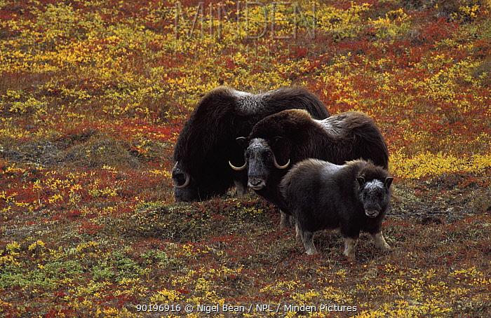 Muskox pair with calf (Ovibos moschatus) Alaska, USA  -  Nigel Bean/ npl