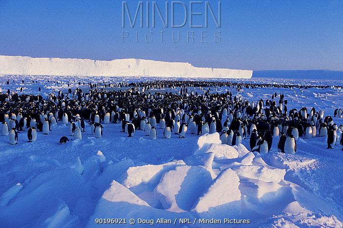 Emperor penguin colony (Aptenodytes forsteri), Brunt Ice Shelf, Antarctica  -  Doug Allan/ npl