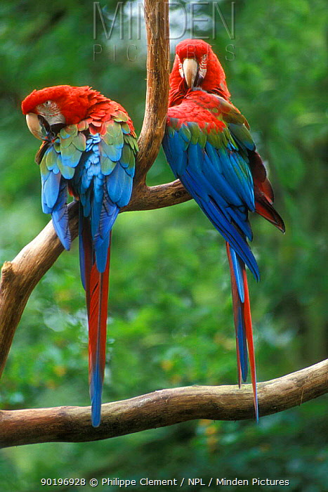 Pair of Green winged macaws (Ara chloroptera) captive  -  Philippe Clement/ npl