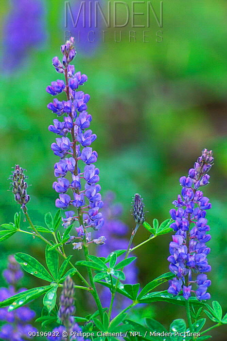 Lupins in flower (Lupinus sp) Grand Tetons NP, Wyoming, USA  -  Philippe Clement/ npl