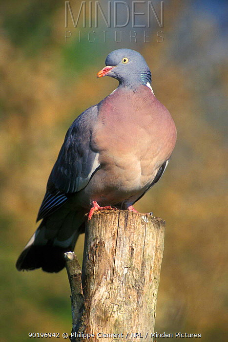 Wood pigeon perched (Columba palumbus) Belgium  -  Philippe Clement/ npl
