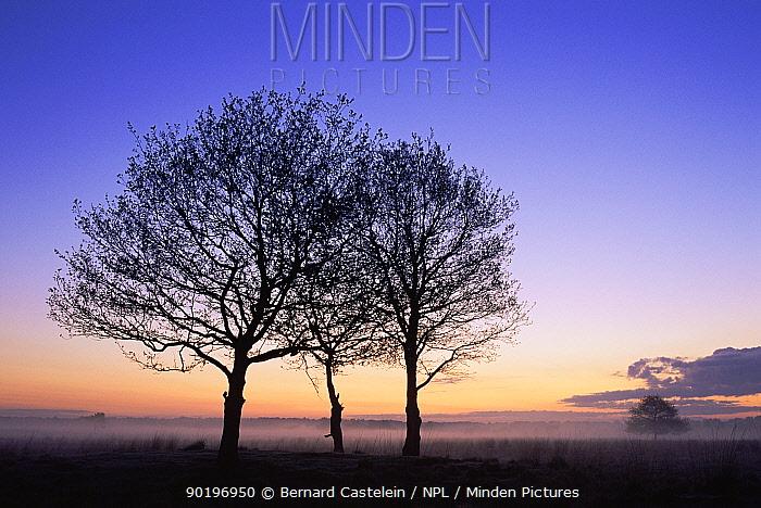 Silhouette of trees at sunrise, Kalmthoutse Heide nature reserve, Belgium  -  Bernard Castelein/ npl