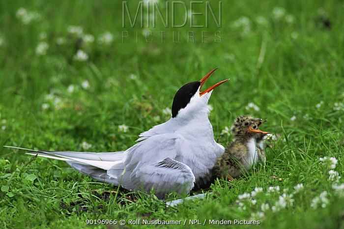 Arctic tern and chicks calling (Sterna paradisaea) Norway  -  Rolf Nussbaumer/ npl