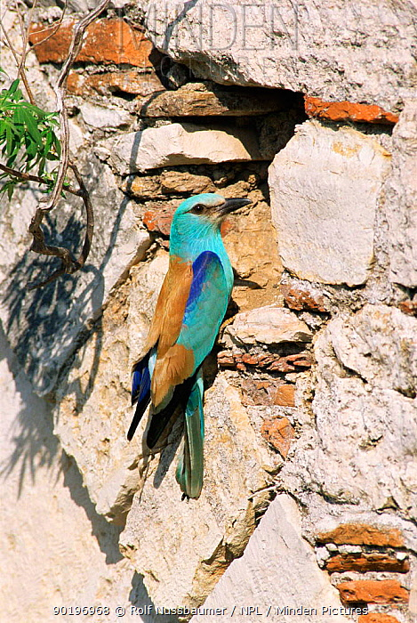 Common roller at nest hole in stone bridge (Coracias garrulus) Samos, Greece  -  Rolf Nussbaumer/ npl